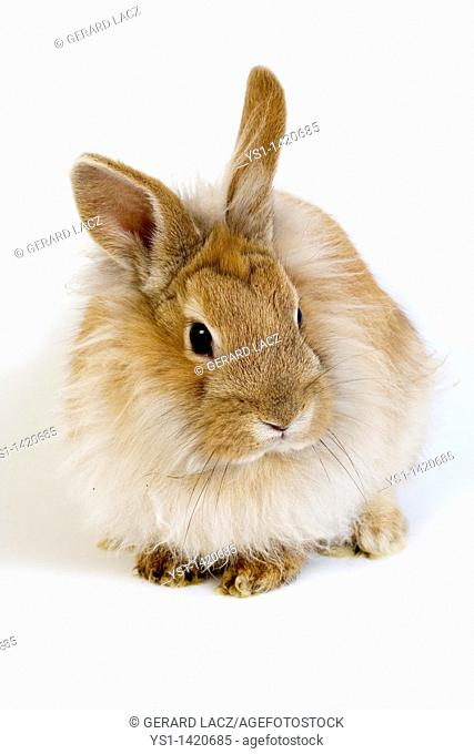 RED DWARF RABBIT AGAINST WHITE BACKGROUND