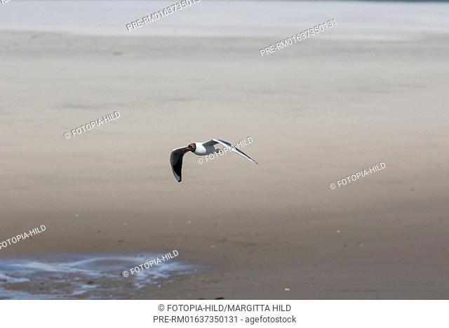Black-headed gull, Chroicocephalus ridibundus, Former Ostanleger, Wangerooge, Friesland district, Lower Saxony, North Sea, Germany, June 2016 / Lachmöwe
