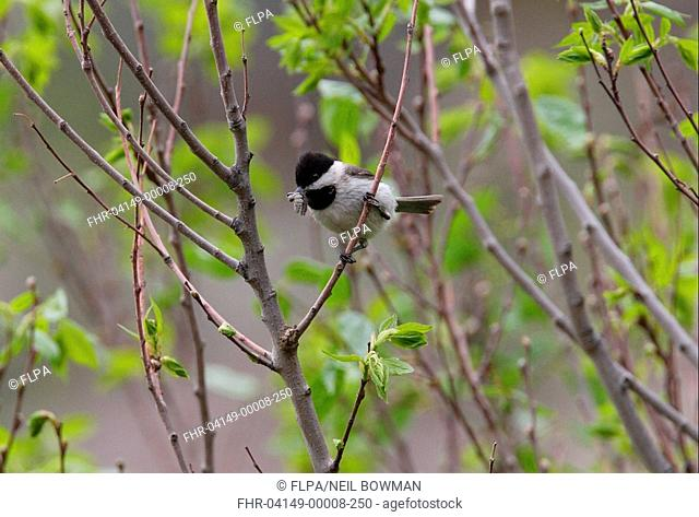 Sombre Tit Parus lugubris adult, with caterpillars in beak, perched in tree, Armenia, may