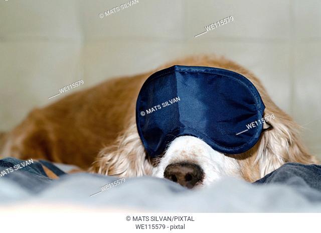 Cocker spaniel dog sleeping with a sleep mask