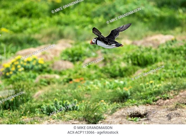 Atlantic puffin (Fratercula arctica) in flight on the north Atlantic ocean. It is the official bird of Newfoundland and Labrador since 1992