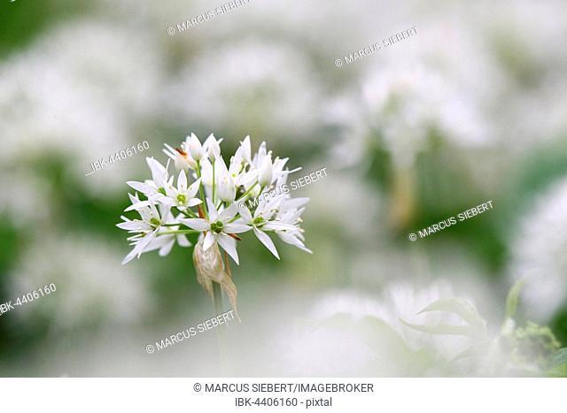 Blooming wild garlic (Allium ursinum), Odeneberg, Gudensberg, Hesse, Germany
