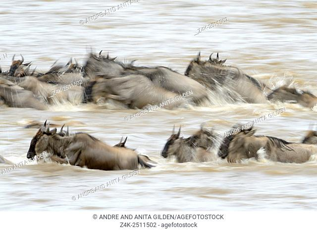 Blue Wildebeest (Connochaetes taurinus) herd during crossing the Mara river with slow shutter speed, Serengeti national park, Tanzania