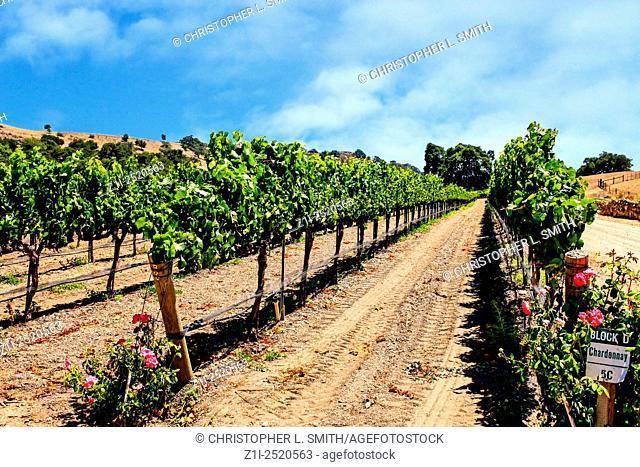 Grapevines in Fess Parker Vineyard in the Foxen Canyon Wine Trai region in Santa Barbara County of California