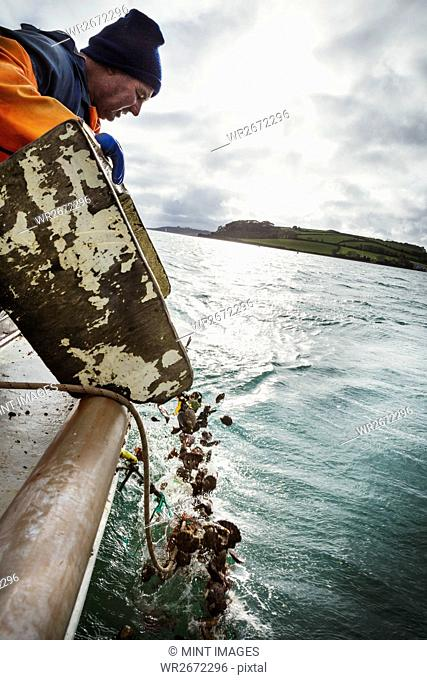Traditional Sustainable Oyster Fishing, A fisherman in oilskins tipping empty shells into the water