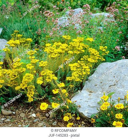 Crooked Yellow Stonecrop in between stones / Sedum rupestre