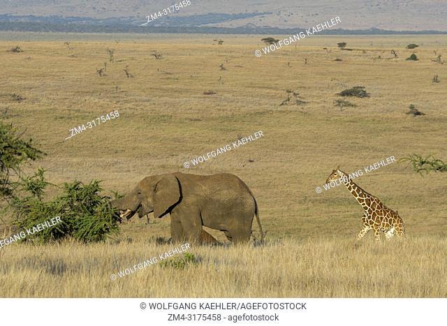 An African elephant with a reticulated giraffe (Giraffa reticulata) at the Lewa Wildlife Conservancy in Kenya