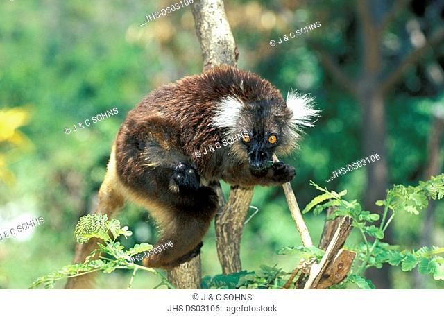 Black Lemur,Lemur macaco,Nosy Komba,Madagascar,Africa,adult female with young on tree