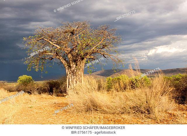Baobab Tree (Adansonia digitata), Kaokoland, Kunene, Namibia