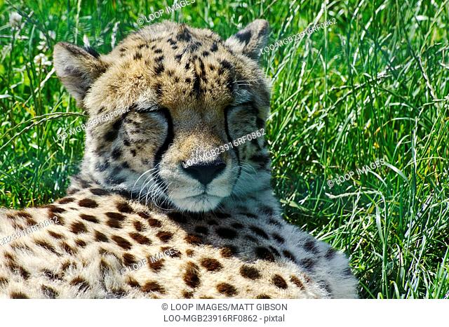 Close up portrait of cheetah laying in grass