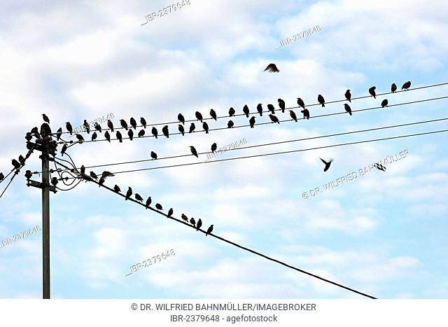 Starlings (Sturnidae) perched on a power line, Upper Bavaria, Bavaria, Germany, Europe
