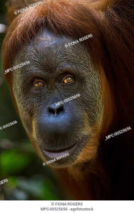 Sumatran Orangutan (Pongo abelii) thirty-six year old female, named Suma, Gunung Leuser National Park, Sumatra, Indonesia