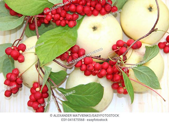 Schisandra and white apples. Still life with clusters of ripe schizandra and white apples. Harvest with red schisandra chinensis plants with ripe fruits and...