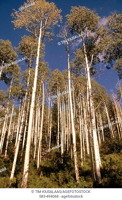 Aspen trees. Colorado, USA