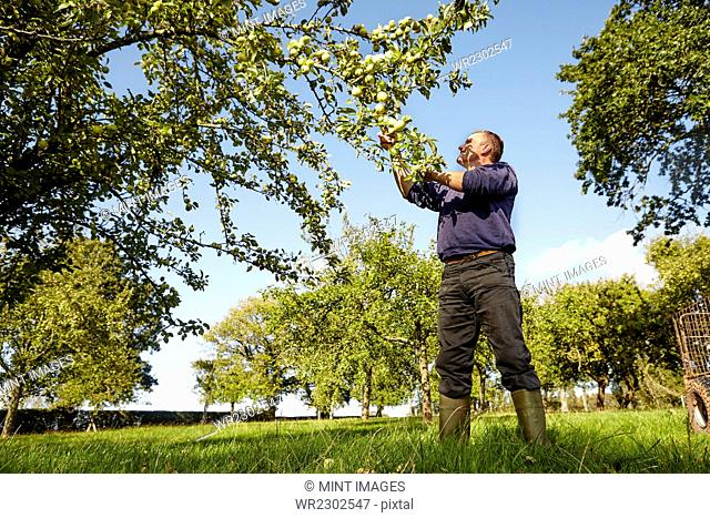 A man harvesting apples from the boughs of an apple tree, in a cider orchard