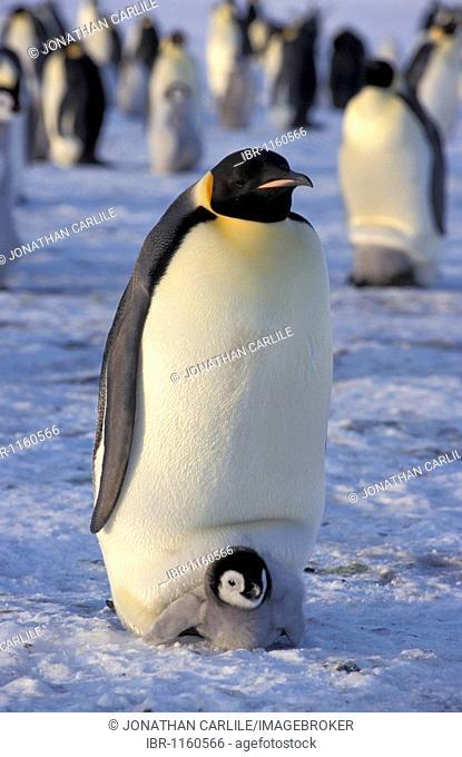 Emperor penguin (Aptenodytes forsteri), with chick, Dawson-Lambton Glacier, Antarctica