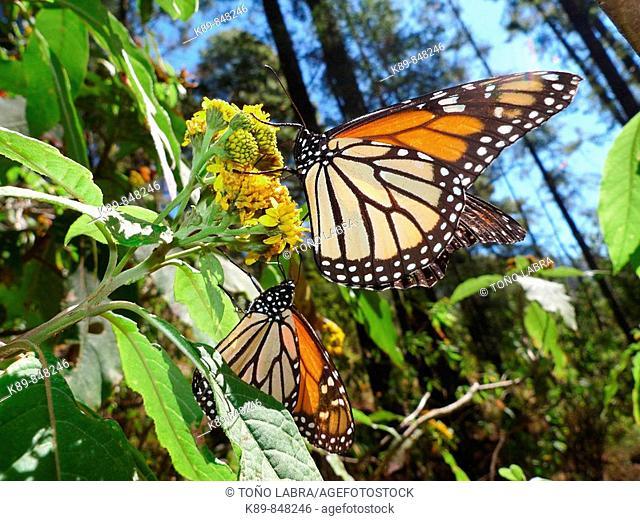 Mariposa Monarca (Danaus plexippus). Chincua reserve, México