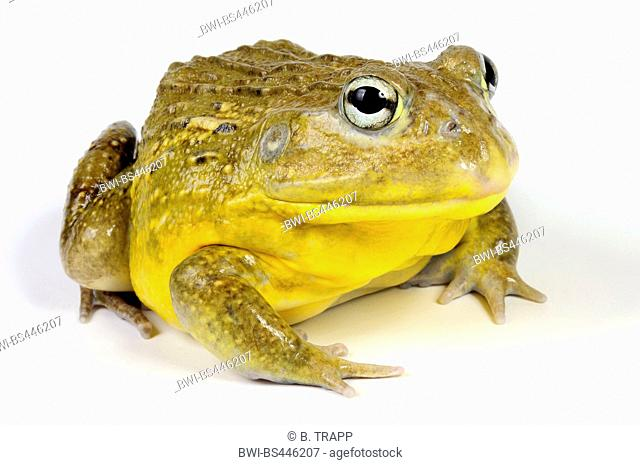 Tschudi's African bullfrog, Gaint bull frog, African bullfrog, pixie frog (Pyxicephalus adspersus), sitting, cutout