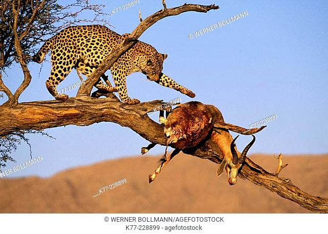 Leopard (Panthera pardus), captive, with dead prey. Namib-Naukluft National Park. Namibia