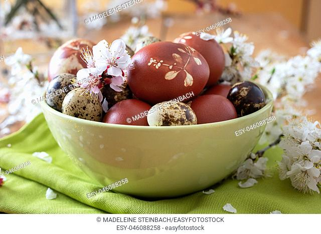 Quail and Easter eggs dyed with onion peels with a pattern of fresh herbs in a green bowl with cherry blossoms