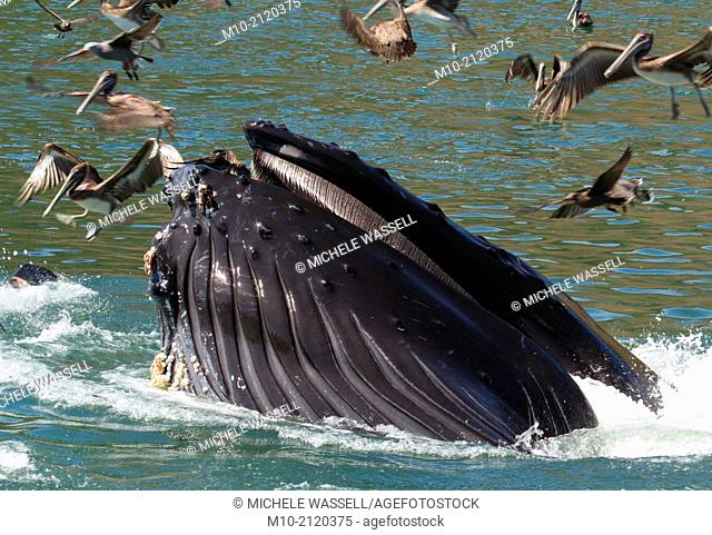 A lunge feeding Humpback Whale in Avila Beach, California, USA