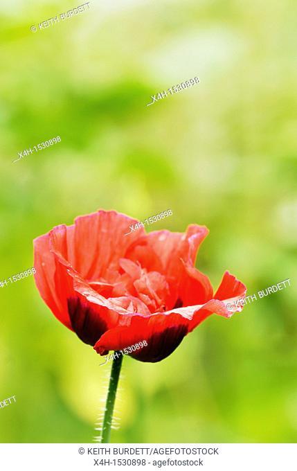 Papaver rhoeas, Field Poppy