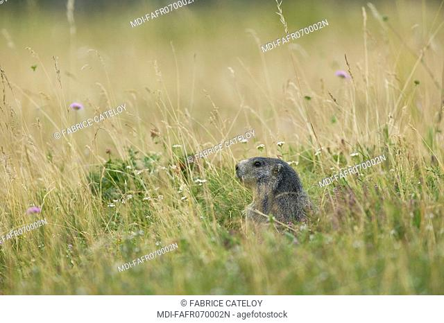 In the natural regional park of Queyras, marmot showing its head at the entry of its burrow