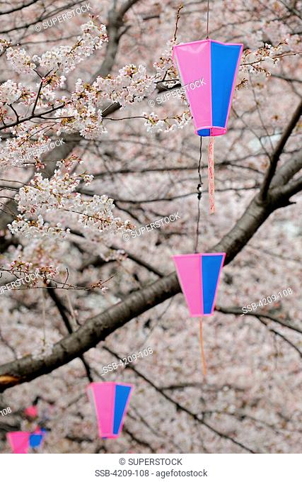 Lanterns and cherry blossom trees in Asukayama Park, Tokyo Prefecture, Kanto Region, Honshu, Japan