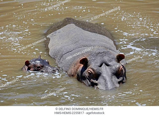 Kenya, Masai Mara Reserve, Hippopotamus amphibious (Hippopotamus amphibius), mother protecting her young in the Mara River