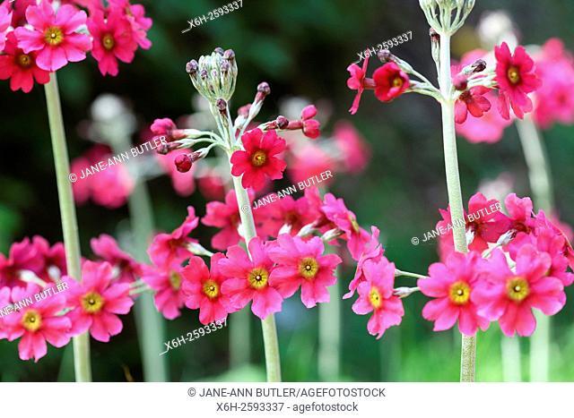 row of pink primrose candelabra in spring