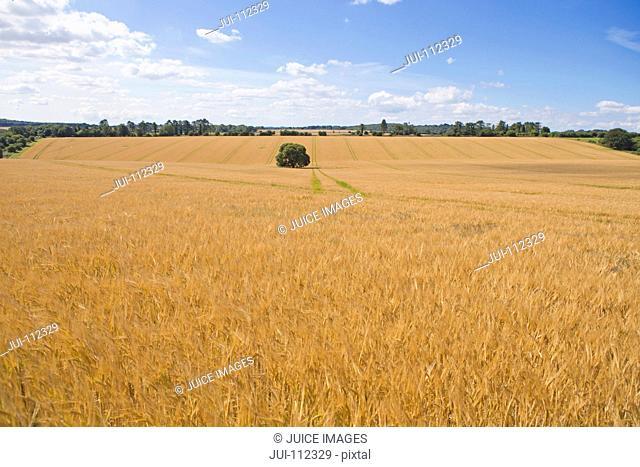 Rural scene of sunny golden barley crop field in summer