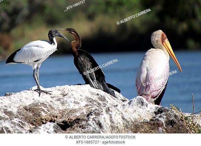 Yellow Billed Stork, Mycteria ibis, Chobe River, Chobe National Park, Botswana, Africa