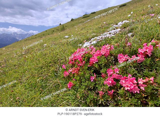 Snow-rose / rusty-leaved alpenrose (Rhododendron ferrugineum) in flower, Hohe Tauern National Park, Carinthia, Austria