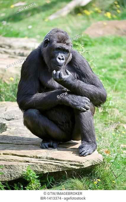 Western Lowland Gorilla (Gorilla gorilla gorilla), Critically endangered, IUCN 2009