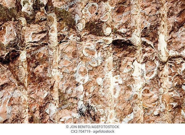 Fossil mollusks in reef limestone ('Rojo de Ereño' limestone). Ereño, Biscay, Euskadi, Spain