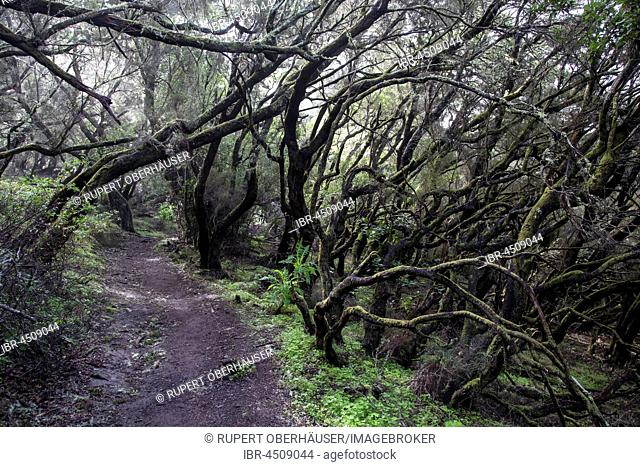 Moss-covered trees on a trail, laurel forest, Garajonay National Park, Las Hayas, La Gomera, Canary Islands, Spain