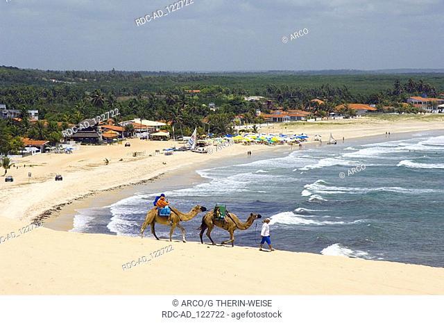 Man with Dromedaries at Genipabu beach Natal Rio Grande do Norte State Brazil Camelus dromedarius Dromedary One-humped Camel