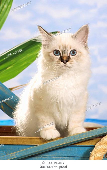 Sacred cat of Burma - kitten sitting in boat