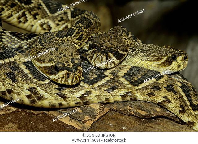 Eastern diamondback rattlesnake, (Crotalus adamanteus) Captive. Native to southeastern United States., Reptilia reptile zoo, Vaughan, Ontario, Canada