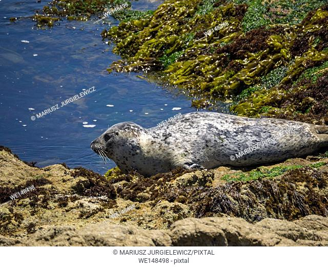 Harbor seal (Phoca vitulina) is a true seal found along temperate and Arctic marine coastlines of the Northern Hemisphere