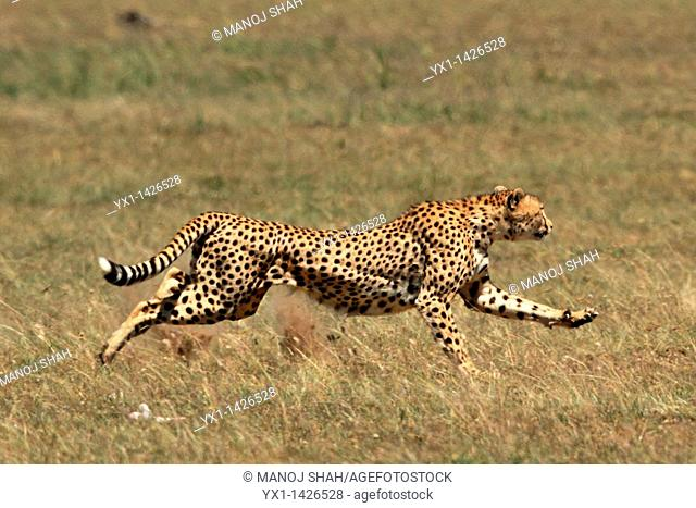 This male cheetah has targetted a hartbeest for hunting and is sprinting towards it