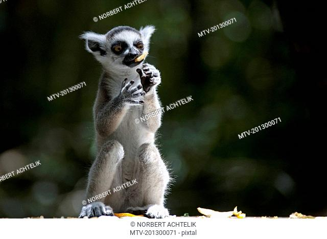 Ring tailed lemur eating, South Africa