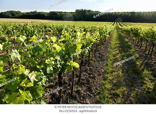 Rows of grape vines perspective