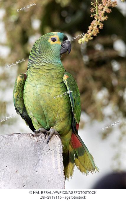 Turquoise-Fronted Amazon (Amazona aestiva) Pantanal, Brazil