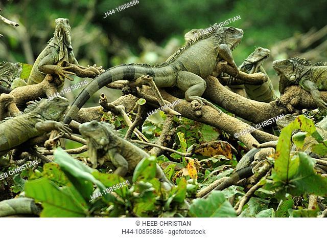 10856886, Ecuador, Green Iguana, at Parque Seminar