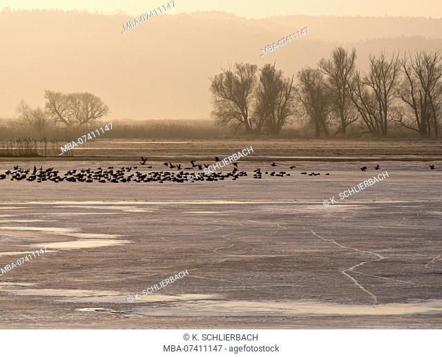 Germany, Brandenburg, Uckermark, Criewen, Lower Oder Valley National Park, winter day in the Oder meadow, ice rink, willow trees, resting gray geese