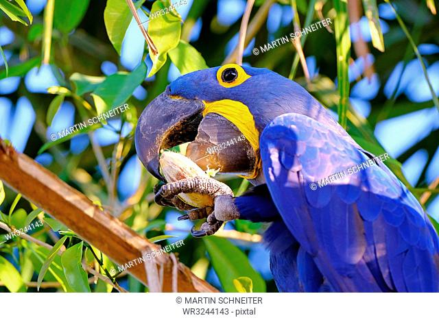 Hyacinth Macaw (Anodorhynchus Hyacinthinus) (Hyacinthine Macaw), Porto Jofre, Pantanal, Mato Grosso do Sul, Brazil, South America