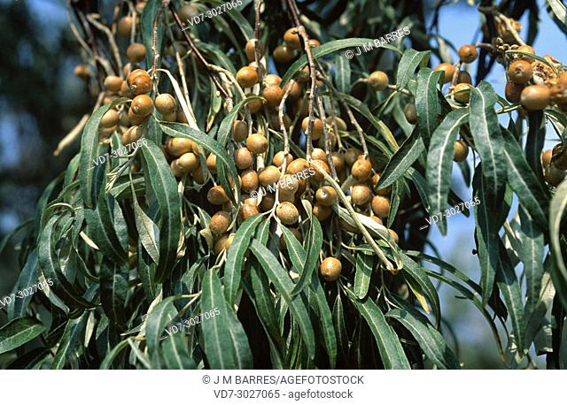 Persian olive, Russian olive or silver berry (Elaeagnus angustifolia) is a small tree of edible fruits native to central and western Asia but naturalized in...