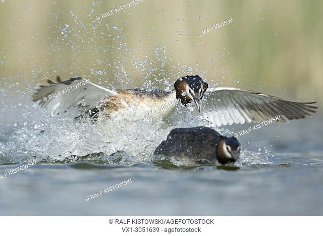 Great Crested Grebe (Podiceps cristatus ) chasing a rival, territorial behaviour, aggressive attack, frontal shot, Europe