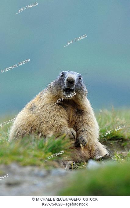 Alpine marmot in National Park Hohe Tauern, Groß Glockner, Austria